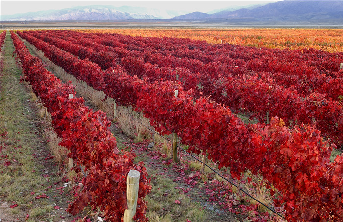 Red_Vineyard Argentina wine industry